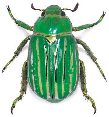 Jewelled Beetle